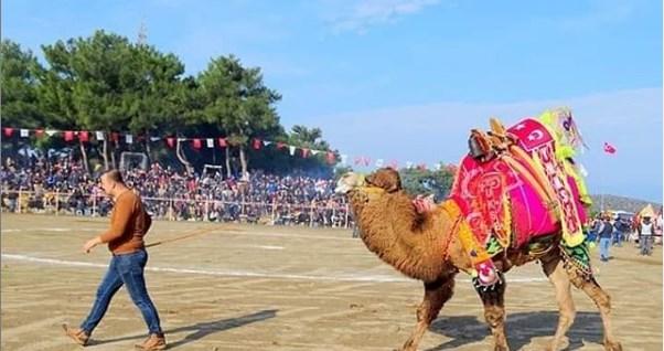 Geleneksel Kumluca Deve Güreşi Festivali